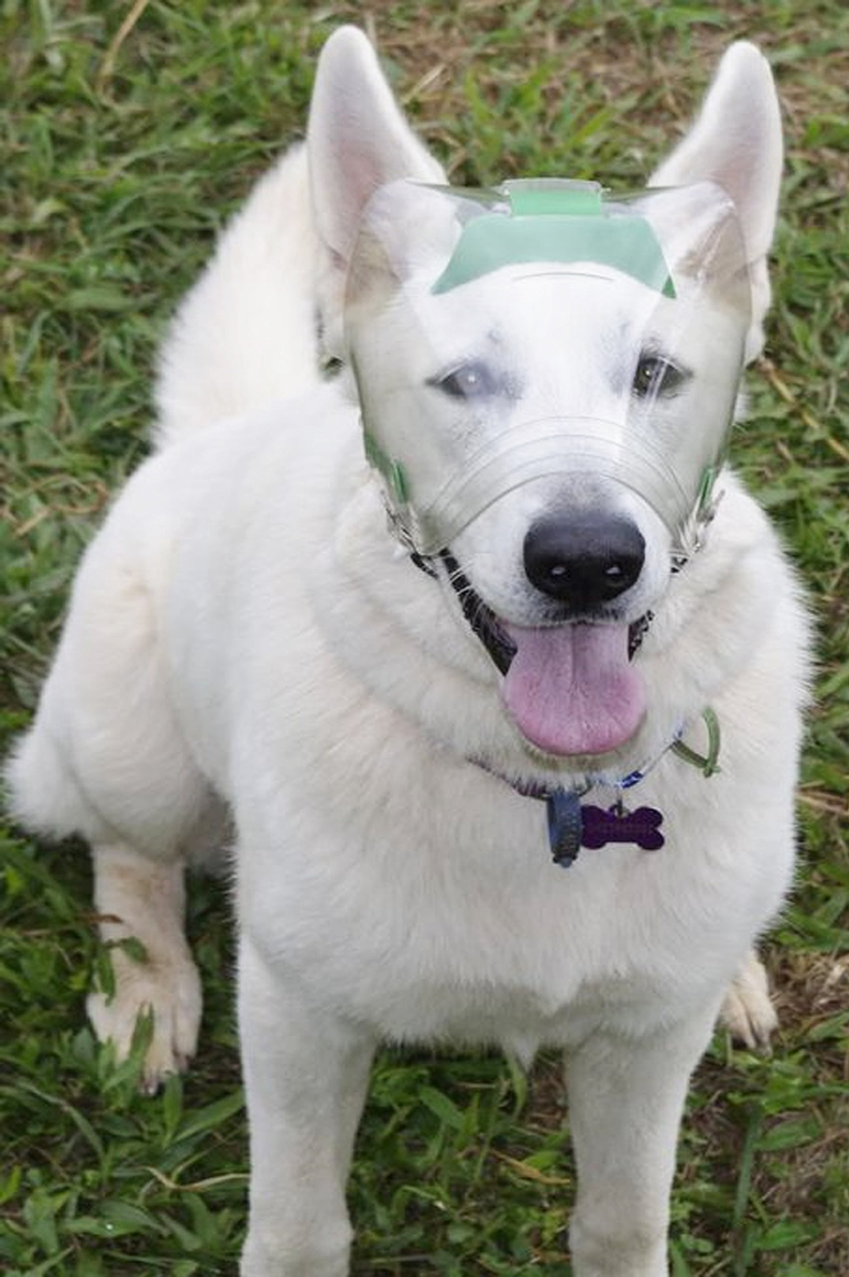 Optivizor Eye Protection for Dogs - Large 73-99 pounds, Head Measuerment 8.3-9.4 inches by Optivizor