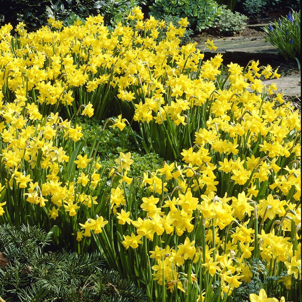 Van Zyverden Daffodils Tete A Tete Set of 25 Bulbs by VAN ZYVERDEN