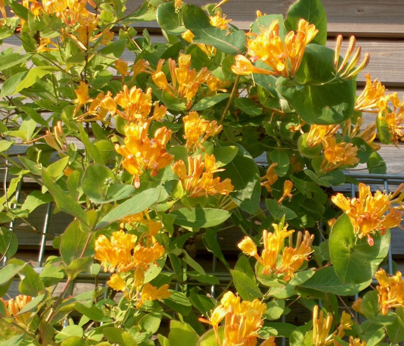 Lonicera x tellmanniana orange-yellow flowers honeysuckle 1 litre pot