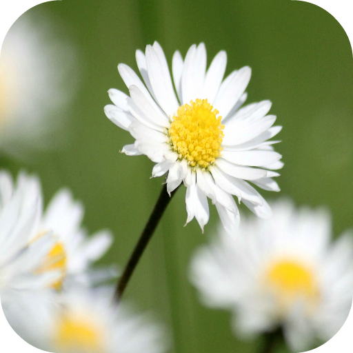 Daisy Wallpapers