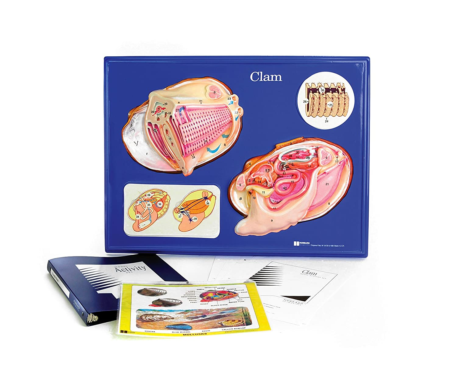 Amazon American Educational Clam Model Activity Set Industrial