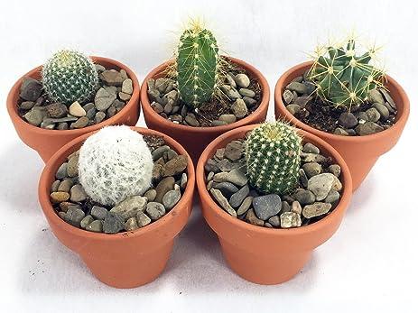 amazon com instant cactus collection 5 different plants 2 25