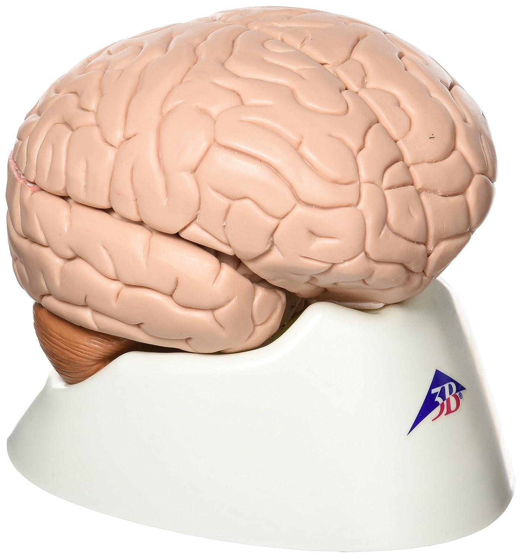 【超特価】 脳,4分解モデル,標準型 B007NCUUNA, HulafilmsOSS:a4dcaf20 --- a0267596.xsph.ru