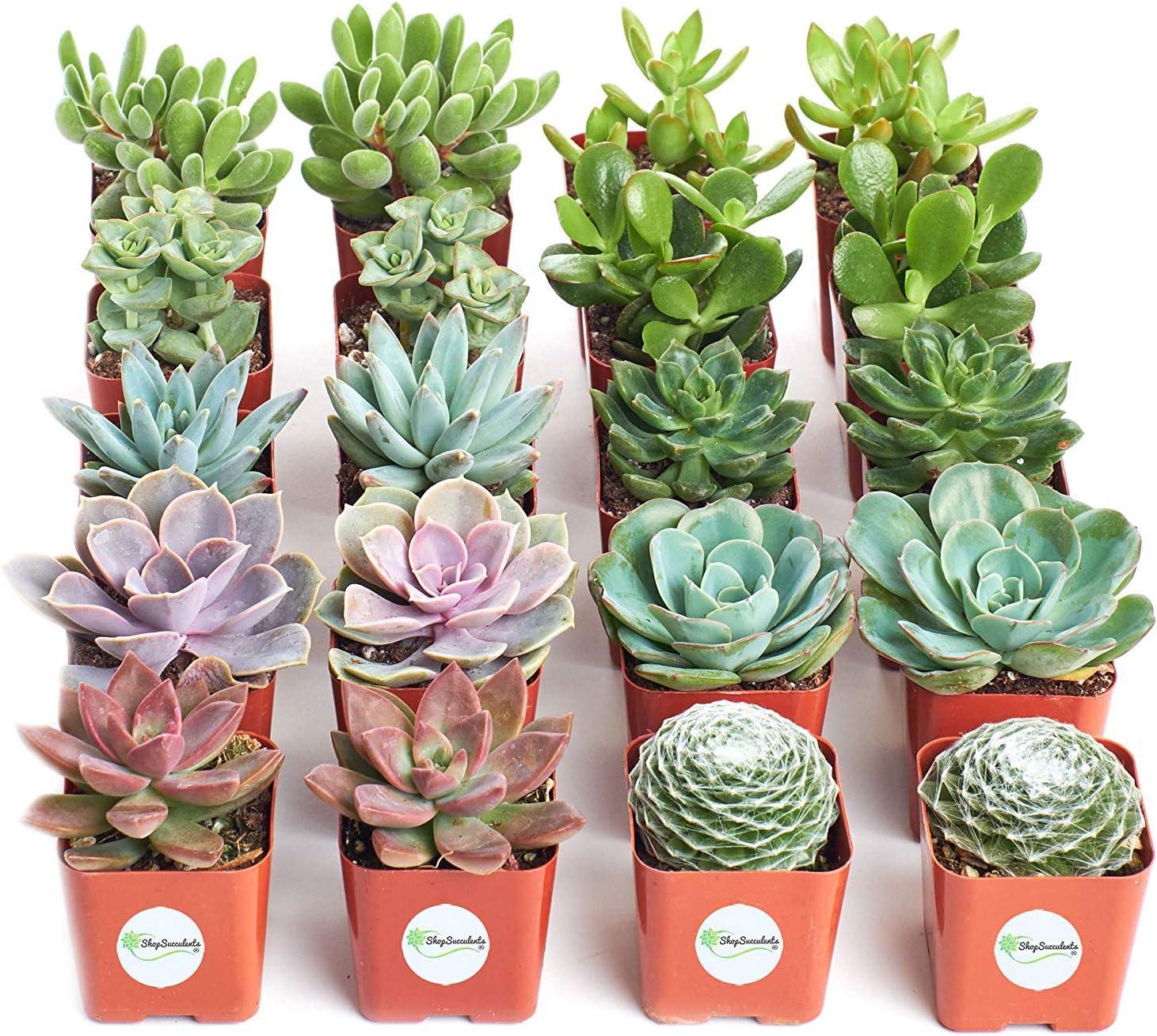 Amazon Com Shop Succulents Assorted Collection Of Live