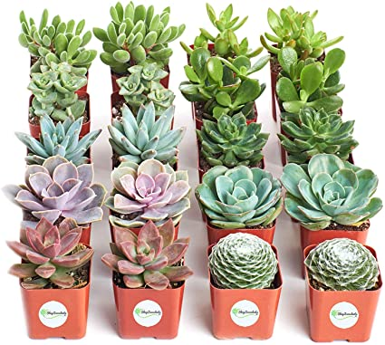 Collection of 15 Shop Succulents Hand Selected Variety Pack of Mini Succulents Assorted Collection of Live Succulent Plants