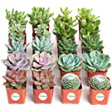 Shop Succulents | Assorted Collection | Variety Set of Hand Selected, Fully Rooted Live Indoor Succulent Plants, 20-Pack B