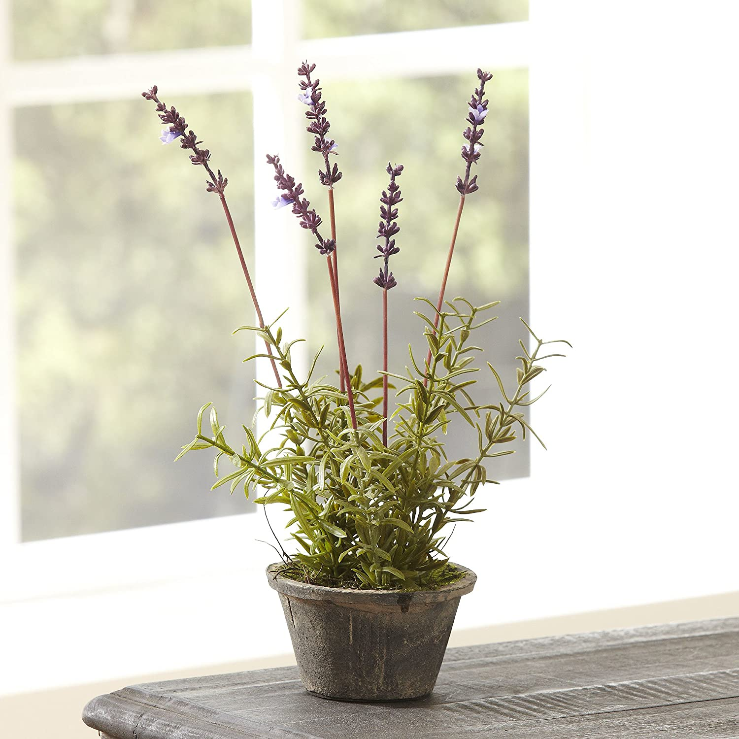 Napa Home & Garden Conservatory French Lavender Potted HERB 12.5-in.