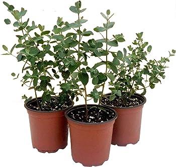 Live Herb Eucalyptus Plant