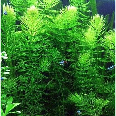 Hot Sale! Hornwort (Ceratophyllum demersum) - Bunch Aquatic Plant : Garden & Outdoor