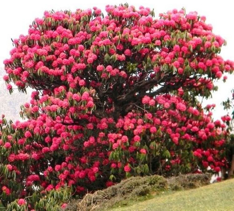 Amazon Com 10 Rhododendron Arboreum Medicinal Herb Guinness
