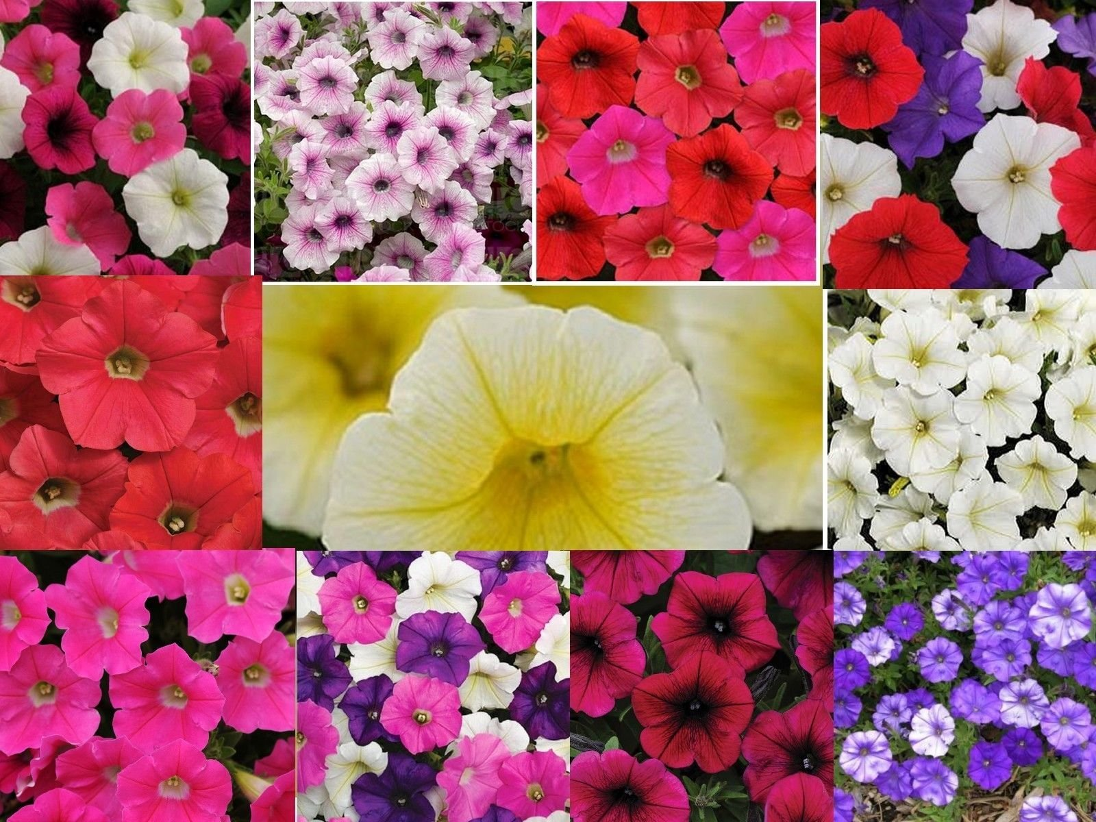 Shock Wave POWER Mixture Trailing Petunia 20 Pelleted Seeds