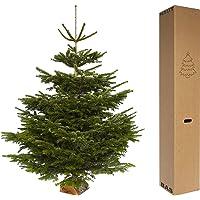 Sapin naturel Abies Nordmaniana 80/100 cm (Premier choix coupé + bûche offerte)