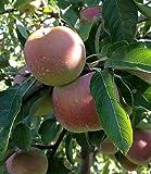 10 Samen Malus pumila 'Fuji' , Fuji Apfel, sehr süß, wenig Säure
