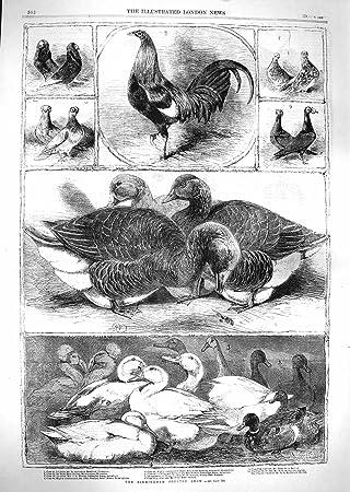 Amazon.de: 1859 BIRMINGHAM Geflügel Show Ente Shrewsbury STANSFIELD