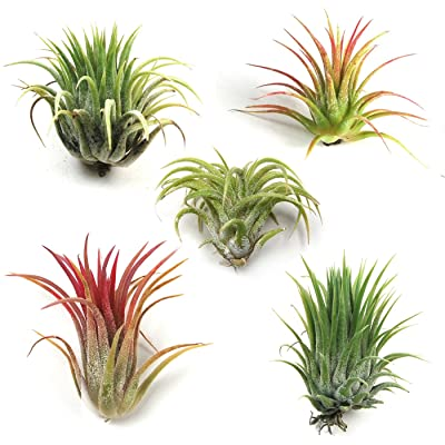 Air Plant Shop's Tillandsia Ionantha - 5 Pack - Free PDF Air Plant Care eBook with Every Order - 5 Pack Air Plant Variety - Fast Shipping from Florida: Grocery & Gourmet Food