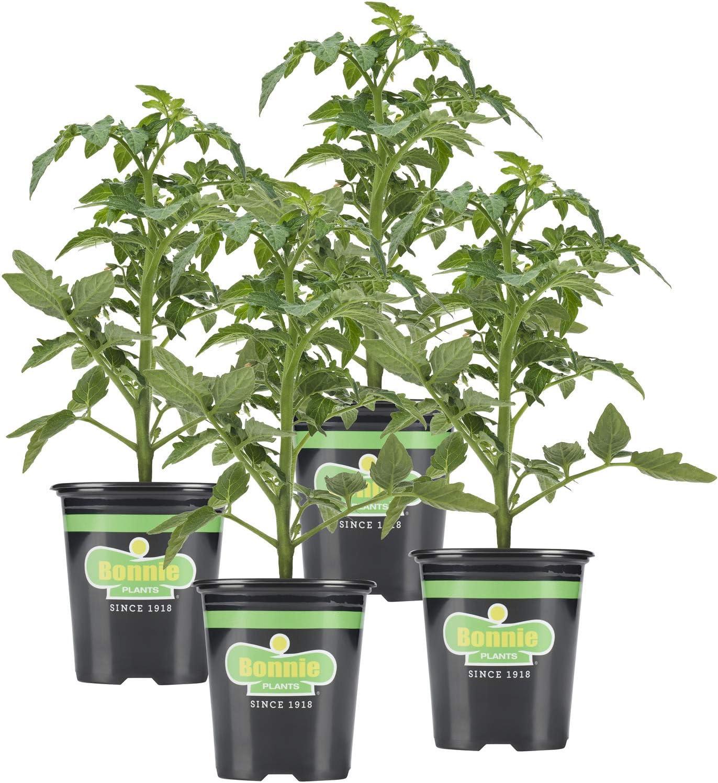 Bonnie Plants 202195 Red Beefsteak Tomato
