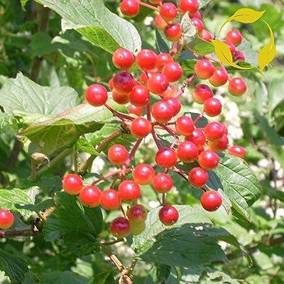 HIGH Bush Cranberry Viburnum Trilobum 15, 30, 60 Seeds : Garden & Outdoor