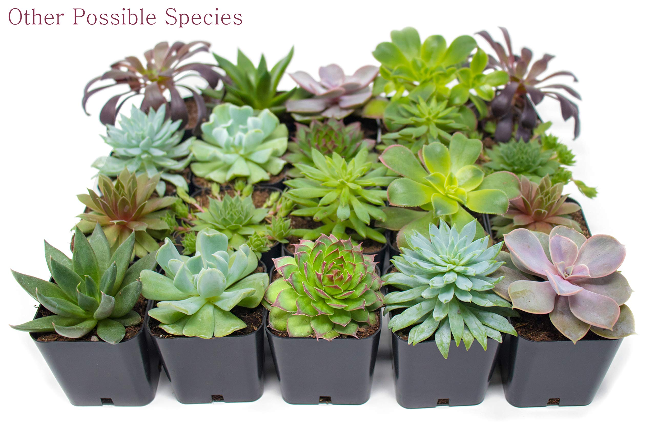 Succulent Plants (5 Pack), Fully Rooted in Planter Pots with Soil -  Real Live Potted Succulents / Unique Indoor Cactus Decor by Plants for Pets 8 HAND SELECTED: Every pack of succulents we send is hand-picked. You will receive a unique collection of species that are FULLY ROOTED IN 2 INCH POTS, which will be similar to the product photos (see photo 2 for scale). Note that we rotate our nursery stock often, so the exact species we send changes every week. THE EASIEST HOUSE PLANTS: More appealing than artificial plastic or fake faux plants, and care is a cinch. If you think you can't keep houseplants alive, you're wrong; our succulents don't require fertilizer and can be planted in a decorative pot of your choice within seconds. DIY HOME DECOR: The possibilities are only limited by your imagination; display them in a plant holder, a wall mount, a geometric glass vase, or even in a live wreath. Because of their amazingly low care requirements, they can even make the perfect desk centerpiece for your office.