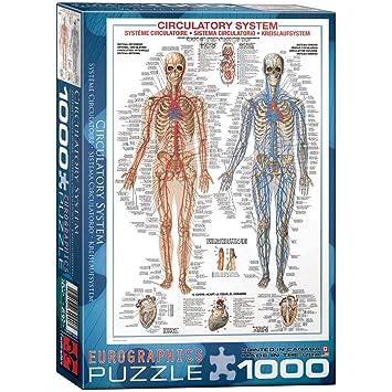 Eurographics Kreislauf-System, Puzzle (1000 Stück): Amazon.de: Spielzeug