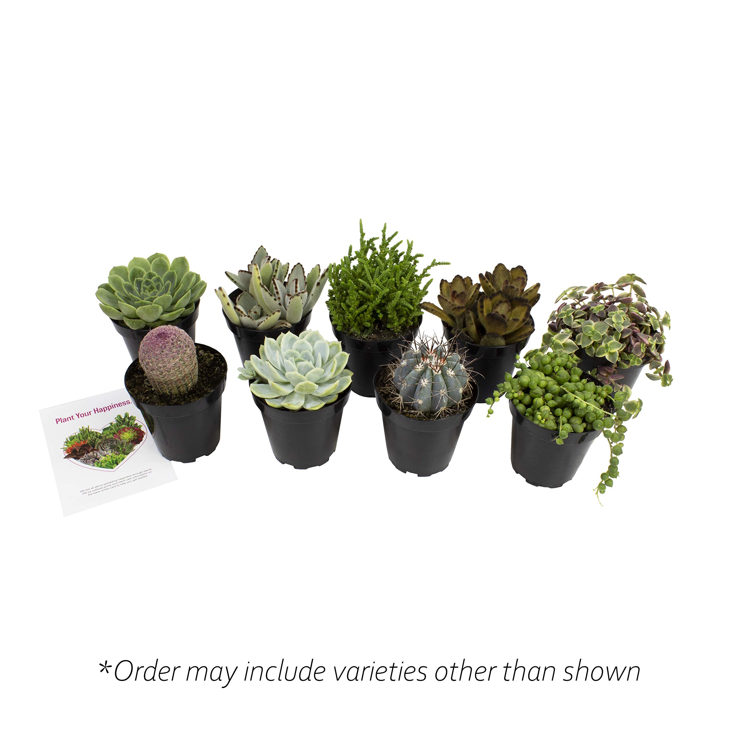 Altman Plants Assorted Live Succulents Fairy Garden Collection Colorful large plants for DIY terrariums and planters, 3.5'', 9 Pack by Altman Plants (Image #1)