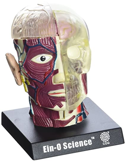 Amazon.com: Bio Signs Human Anatomy - Brain & Skull: Toys & Games