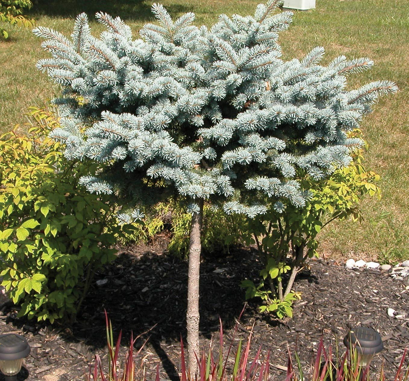 Dwarf Globe Blue Spruce (Tree Form on 20'' Standard) - Live Plant - Trade Gallon