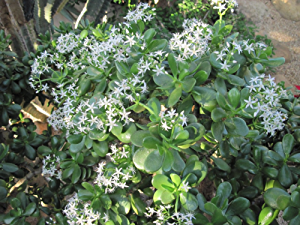 Crassula ovata: jade plant