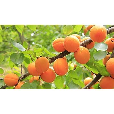 Autumn Royal Apricot-2 Year Old 4-5 Ft Tall - Bob Wells Nursery : Garden & Outdoor