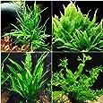 Java Fern Microsorum Bundle - 4 Species (Trident, Windelov, Narrow Leaf, Philippine) Easy Low Light Aquarium Plants - Snail Free Guaranteed