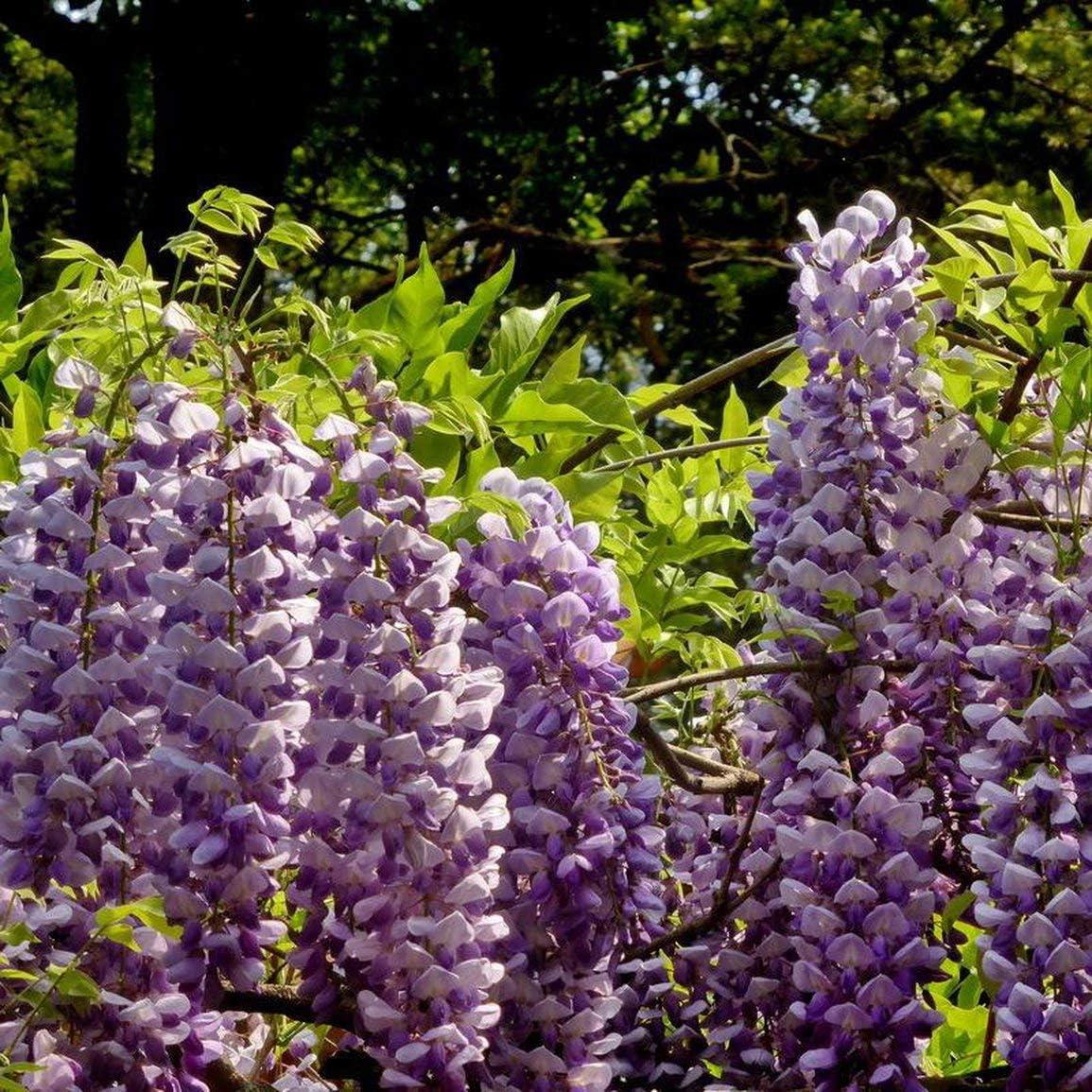 Colore: Casuale 10 Pz//pacco Semi di glicine Semi di Dah lia bianchi Bellissimi semi di fiori perenni Dah lia per giardino domestico fai da te