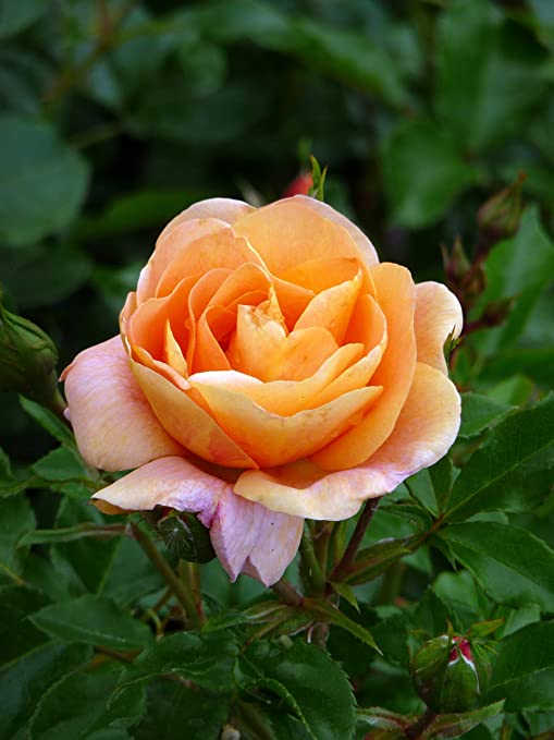 Superb Birthday Plant /& Flower For Birthdays /& All Occasions ROSE SPECIAL FRIEND
