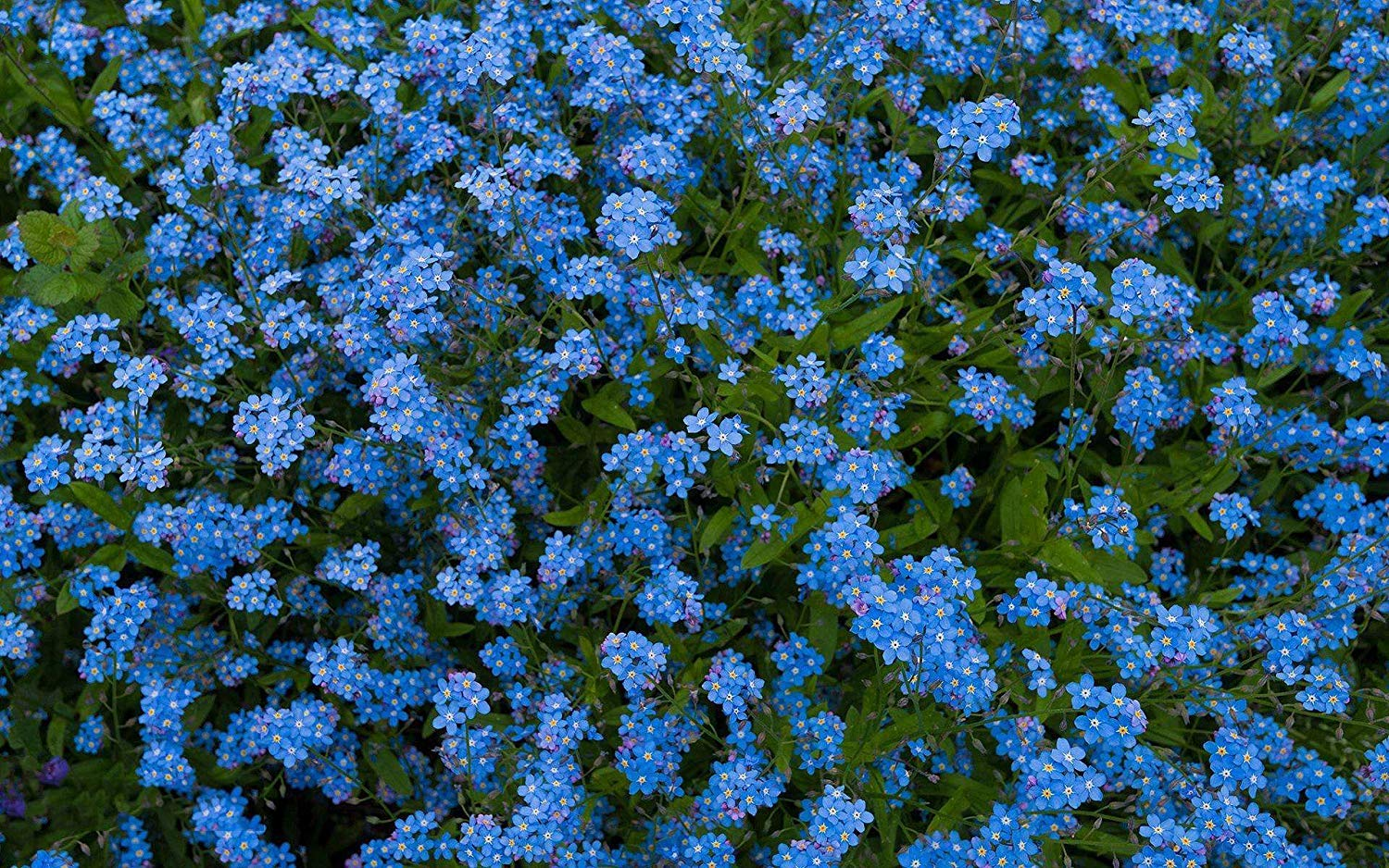 Non-GMO Blue Flower Seeds for Planting in The Garden Home Balcony Yard Decoration Flowers Plants-50Seeds Chinese Forget Me Not Seeds Blue Cynoglossum amabile