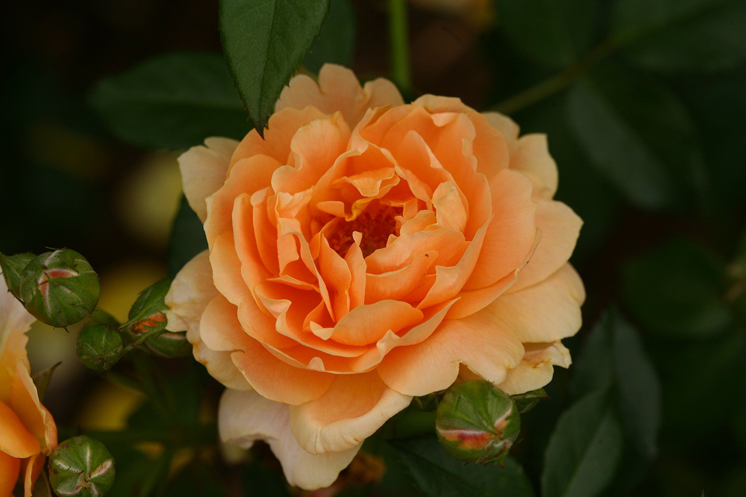 At Last Rose (Rosa) Live Shrub, Orange Flowers, 4.5 in. Quart by Proven Winners (Image #6)