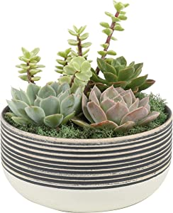 "Costa Farms CO.CGD6DD.13.BLWTB White/Black 6"" Cacti and Succulent Dish Garden Indoor Plant, 6-Inches Tall, Grower's Choice"