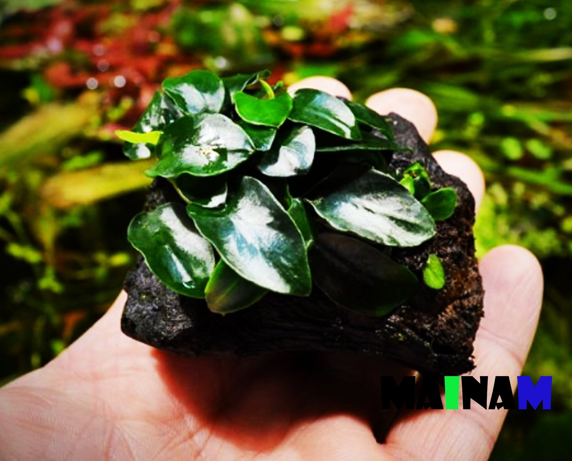 Mainam (6 Pack) Anubias Nana Petite on Nano Driftwood Freshwater Live Aquarium Plants Decorations by Mainam