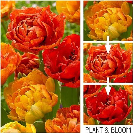 Tulipe double Touch-Bulbes de tulipes x 5 ampoules
