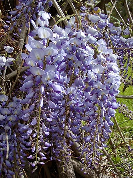 Amazon Com Blue Chinese Wisteria Vine 5 Seeds Hard To Find