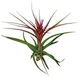 """Large Air Plants - Big """"Sparkler"""" Air Plants - Nice 5 to 7 inch air plant - 30 Day Guarantee for Air Plant Shop orders over $45 - Free air plant care ebook with order"""