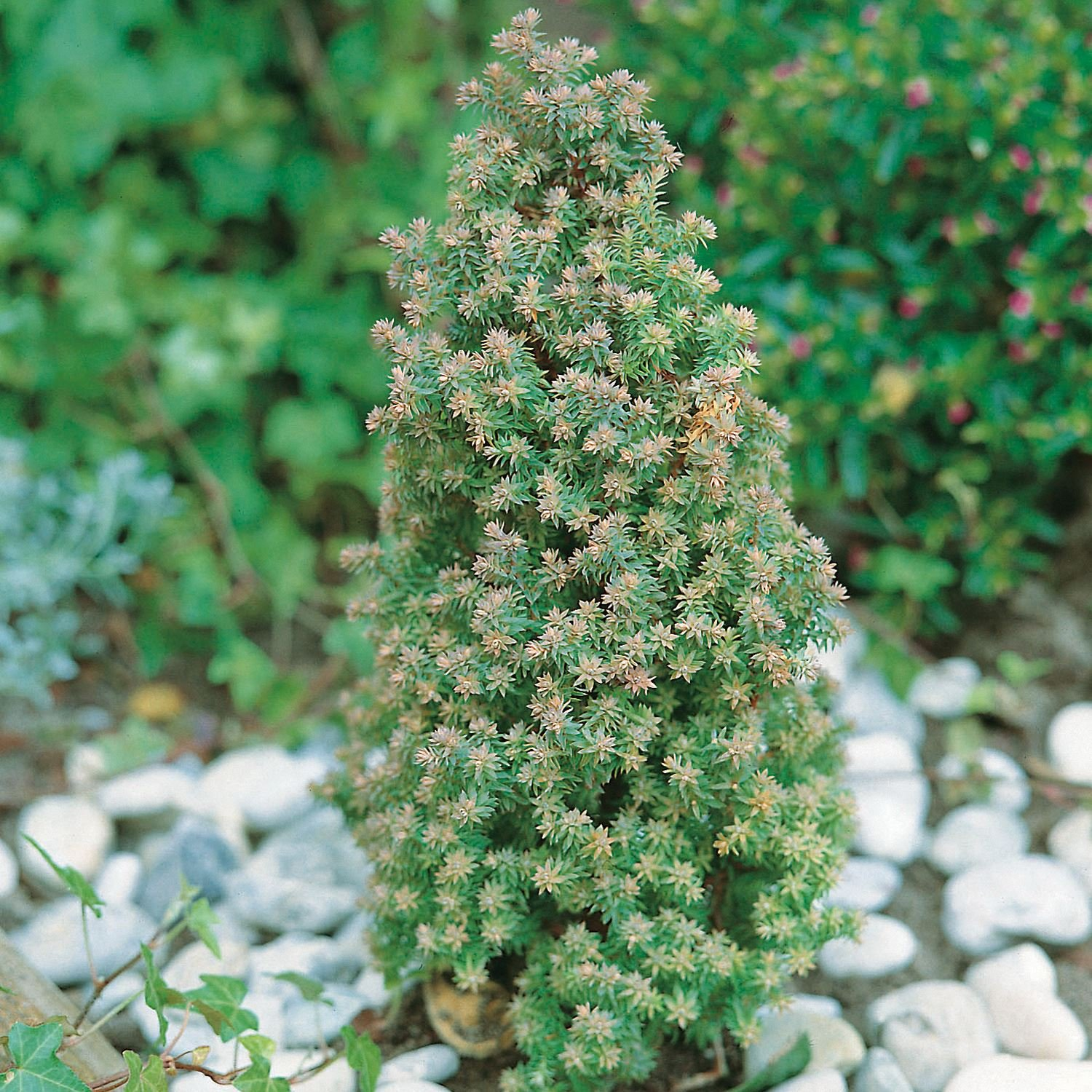 9cm Pot Dwarf Conifer Chamaecyparis Thyoides Rubicon( Red Star) Compact for Rockery, Small Border B&R Direct (UK) Ltd