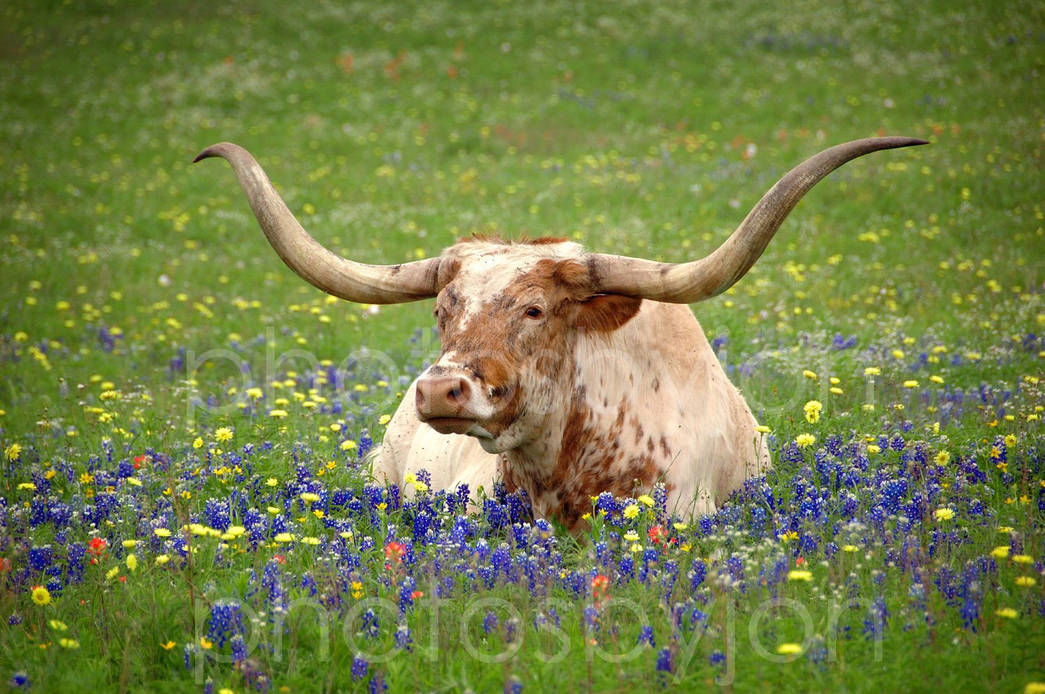 amazon com texas longhorn in bluebonnets 11 inches x 14 inches