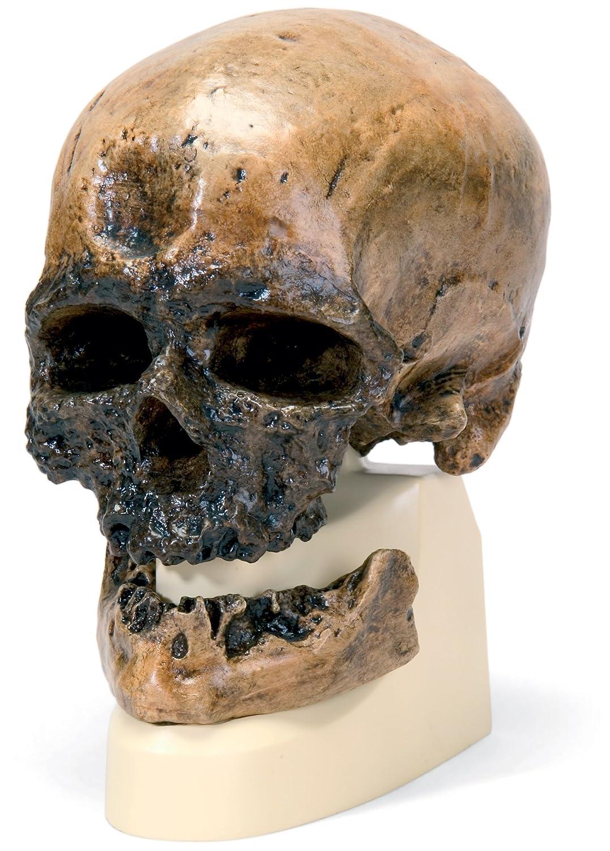 クロマニヨン人 の 頭骨 モデル   B00NXP9R9E