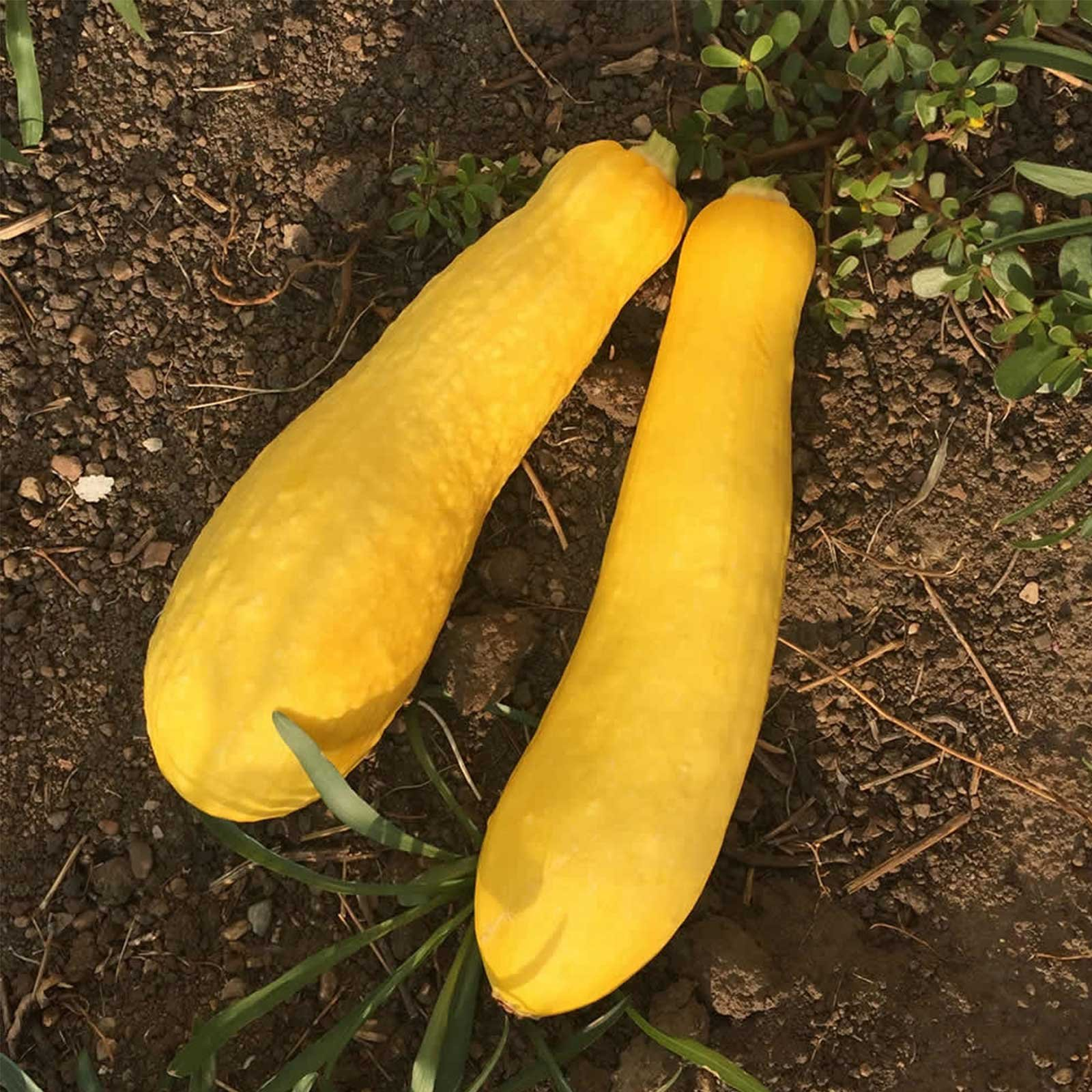 Early Prolific Straightneck Summer Squash Garden Seeds - 5 Lbs Bulk - Heirloom, Non-GMO - Vegetable Gardening Seed - Straight Neck Yellow Squash by Mountain Valley Seed Company