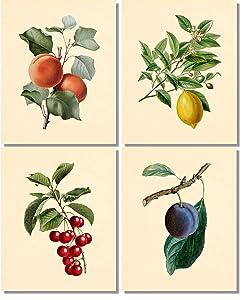 Fruit Wall Art- Vintage Botanical Prints (Set of 4) - 8x10 - Unframed - Plum Peach Cherry Lemon