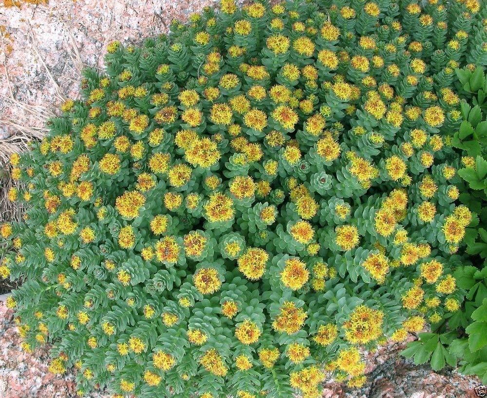 50 Rhodiola rosea Seeds, Golden Root, Rose Root, Roseroot, Rare Medicinal Plant SVI