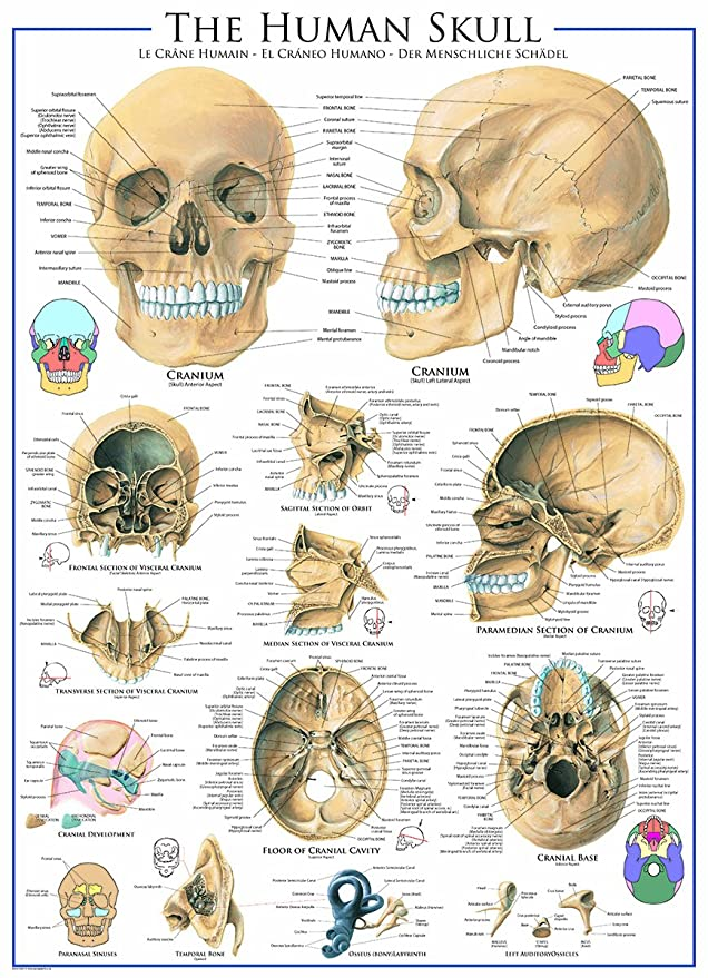 Amazon Human Skull 1000 Piece Puzzle Toys Games