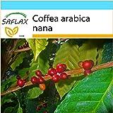 SAFLAX - Set regalo - Planta del café - 8 semillas - Coffea arabica nana