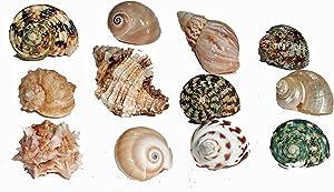 Florida Marine Research SFM34331 12-Pack Hermit Crab Shell, Medium