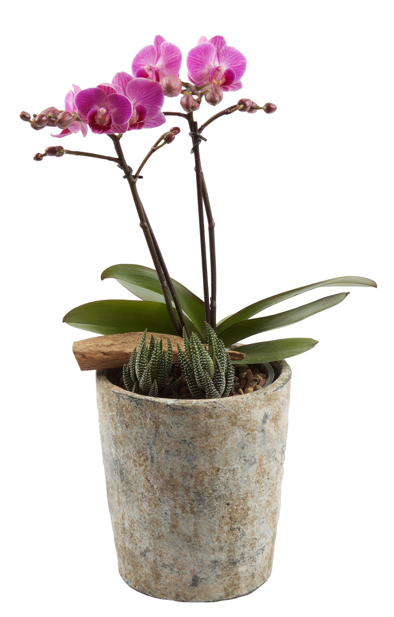 Color Orchids AMZ9101SE Live Double Stem, 15'' x 20'', Pink Blooms Orchid Garden Plant in Ceramic Pot,