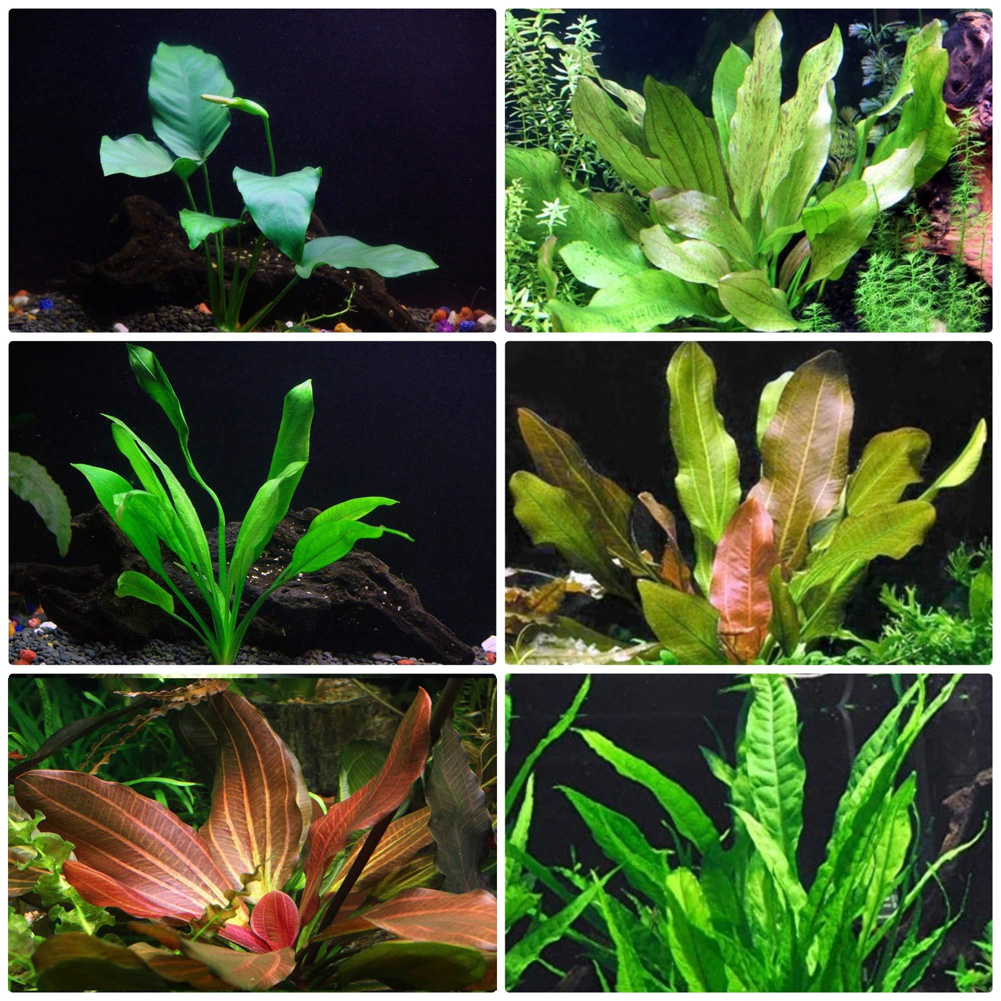 Rooted Live Aquarium Plant Bundle - 6 Easy Species   Snail Free Guaranteed by AquaLeaf Aquatics