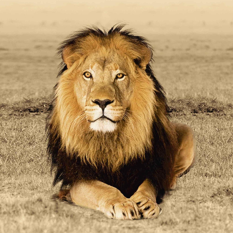 Artland Qualitätsbilder I Glasbilder Deko Deko Deko Glas Bilder 60 x 80 cm Tiere Wildtiere Raubkatze Foto Ocker A6ZW Löwe B00KLTVVKS Glasbilder 0fb2c5